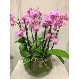 Phalaenopsis in glas vanaf €24,95