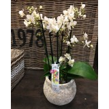 Phalaenopsis in sierpot vanaf €29,95